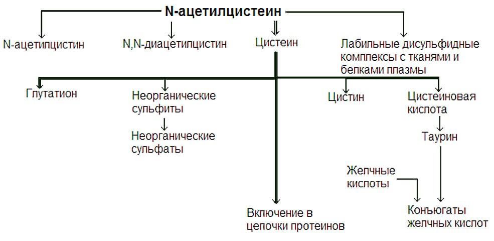 Пути метаболизма N-ацетилцистеина