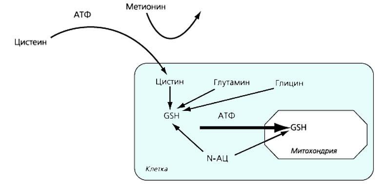 Роль NAC в синтезе глутатиона (GSH)