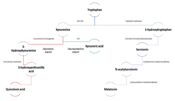 метаболизм триптофана